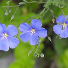Wild Blue Flax by Tracy Faught