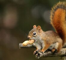 Surprised Red Squirrel With Peanut by Debbie Oppermann