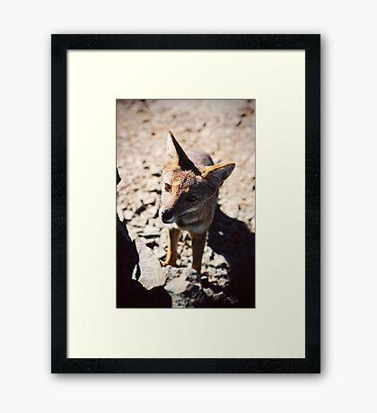 Zorro Culpeo portrait Framed Print