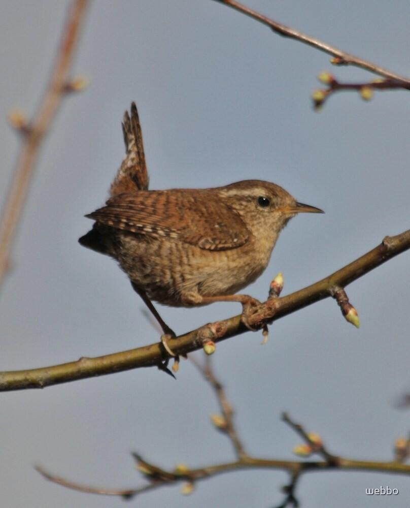 Singing Wren by webbo