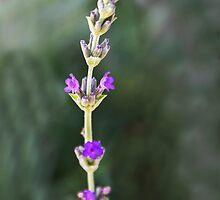 Spring Lavender by heatherfriedman