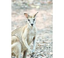 What's Up? - wallaby Photographic Print