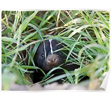 Baby Skunk at den young peeking Canada Poster