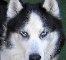Love is: Siberian Husky by Sherry O'Neill