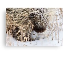 Porcupine in Winter Saskatchewan Canada snow and cold Canvas Print