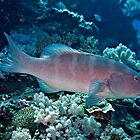 Leopard coral grouper (or coral trout) by David Wachenfeld