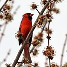 Northern Red Cardinal by Debbie Oppermann