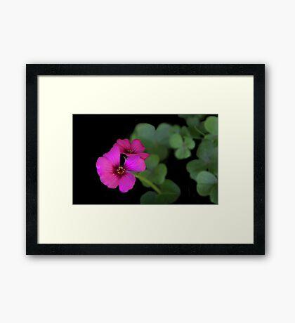 Clover in Bloom Framed Print