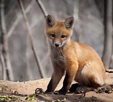A Cute Kit Fox Portrait 1 by Thomas Young