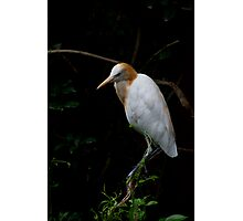 Cattle Egret Photographic Print