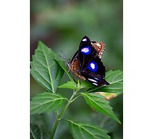 Common Eggfly and Friend Photographic Print