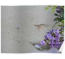 White-Lined Sphinx Moth Poster