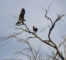 eagles - two on a tree by gaylene