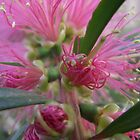 Bottlebrush flower close up by SezziT