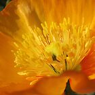 Orange poppy dancing in the sun by SezziT