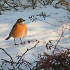 Spring Robin, Waiting for Spring. by debraroffo