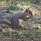 Gray Squirrel by Otto Danby II