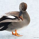 Gadwall  by Nancy Barrett
