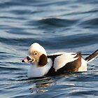 Long-tailed Duck  by Nancy Barrett