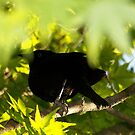 Brewer's Blackbird by lickthecowhappy