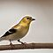 American goldfinch by Penny Rinker