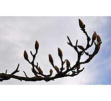 Waiting To Bloom-Magnolia Tree Photographic Print