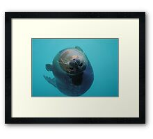 Curious Seal Swimming in the Blue Framed Print