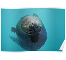 Curious Seal Swimming in the Blue Poster