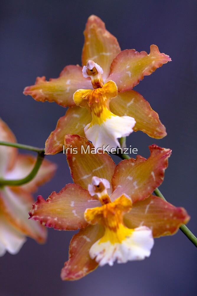 orchid choir by Iris MacKenzie