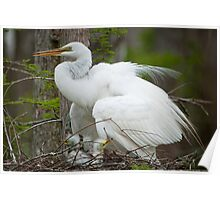Mother Egret with Chicks in the Nest Poster
