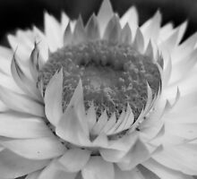 Black and White Petals by lindsycarranza