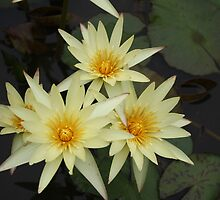 Yellow Water Lilies by Anthony Nightingale
