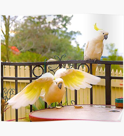 Cockatoos, Afternoon Tucker time. Poster