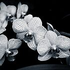 Orchids in Monochrome by Silken Photography