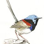 Splendid Fairy Wren by thedrawingroom