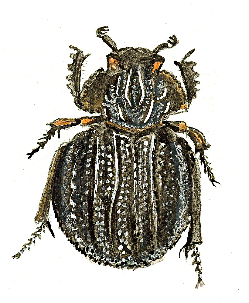 Carcass Beetle by thedrawingroom