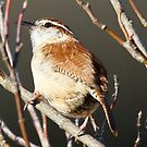 Carolina Wren by Dennis Cheeseman