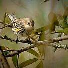 Yellow Rump Warbler by Joe Jennelle