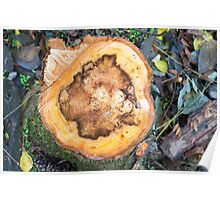 View from above on the surface of a fresh cut tree stump Poster