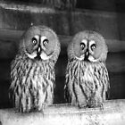 Owls by Anna Phillips