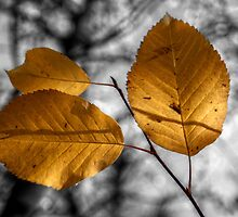 Yellow Poplar Leaves I by EelhsaM