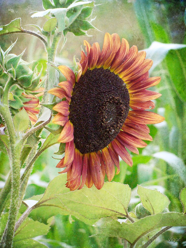 Big ol sunflower by vigor