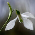 Snowdrop by Mandy Disher