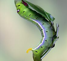 Oleander Hawkmoth caterpillar by jimmy hoffman