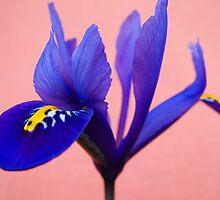 Blue Iris by Forfarlass