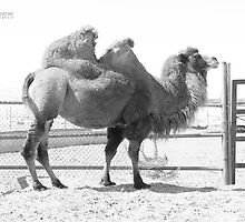 Camelus Bactrianus by Jerry Dorado Alcantara