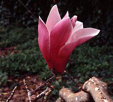 Magnolia sprengeri by Rodney Johnson