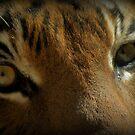 Malayan Tiger Up Close (Critically Endangered) by Kimberly Chadwick
