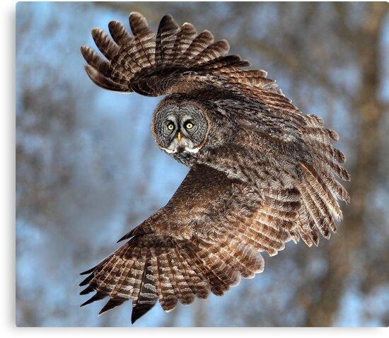 Top Down / Great Grey Owl by Gary Fairhead