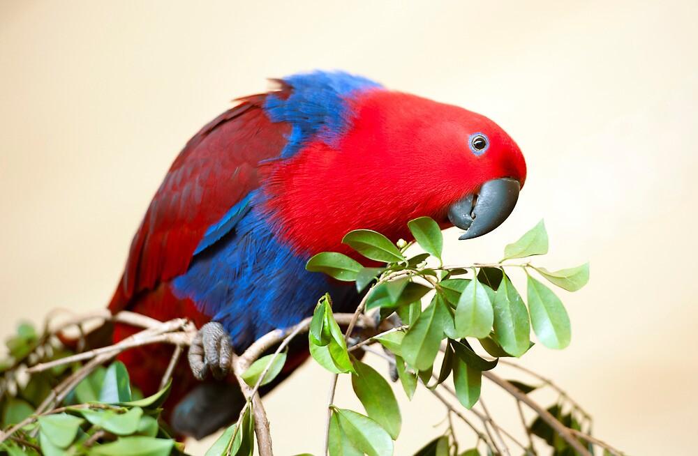 Eclectus Parrot by Jenny Dean